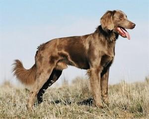 Psy Rasy Wyżeł Niemiecki Długowłosy Deutscher Langhaar